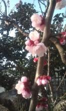 あんずの花